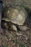 Turtle. Closeup of single turtle outdoors royalty free stock photography