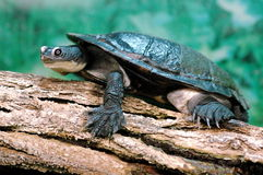 Free Turtle Stock Images - 11242834