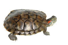 Turtle. A red ear turtle isolated in whiite Royalty Free Stock Photo