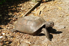 Turtle. Chestnut turtle in a foret in florida in states Royalty Free Stock Image