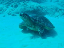 Turtle. Swimming through the ocean Royalty Free Stock Images
