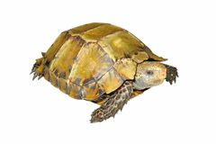 Turtle. A turtle isolated in white Stock Image