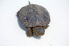 Turtle Royalty Free Stock Images
