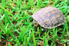 Turtle. Walking on green grass Stock Photo