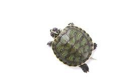 Free Turtle Stock Photo - 13743250