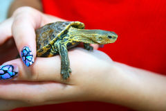 Turtle. Small turtle in woman hands Stock Photography