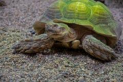 Turtle under water close portrait. Turtle portrait close stock photos