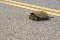 Free Turtle Royalty Free Stock Photos - 14583498