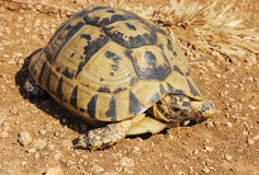 Turtle. A turtle with a yellow-black carapace crawling on the ground Stock Photos
