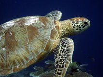 Turtle. Swimming in the blue ocean Stock Photography
