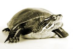 Turtle. Isolated against a white backdrop Stock Image