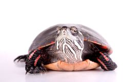 Turtle. Isolated against a white backdrop royalty free stock photography