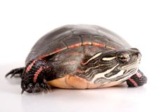 Turtle. Isolated against a white backdrop Royalty Free Stock Photos