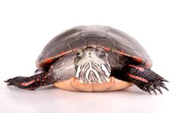 Turtle. Isolated against a white backdrop stock photos