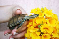 Turtle Royalty Free Stock Photos