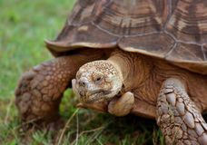 Turtle. It's a photo of a huge turtle Stock Photography