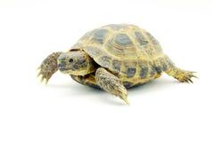 Turtle. Reptile turtle on white stock photos
