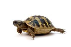 Turtle. Baby turtle on white background Royalty Free Stock Image