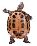 Turtle. Beautiful turtle isolated on white background Stock Photography