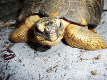 Turtle. An old turtle relaxing in the sand Stock Images