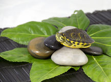 Turtle. On a leaf and stone royalty free stock photos