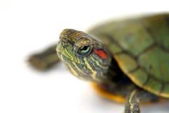 Turtle. Isolated on white background Stock Images