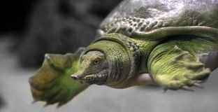 Turtle. Hog nosed turtle in the sea Stock Photography