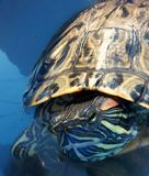 Turtle. Water Life Royalty Free Stock Images
