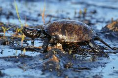 Turtle. S in crude oil. environmental disaster Royalty Free Stock Photos