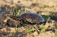 Turtle. S in crude oil. environmental disaster Stock Photo