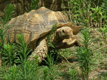 Turtle. Slow and steady turtle walking Royalty Free Stock Photo