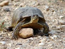 Turtle. This turtle seems to be trying to climb over this rock Stock Images