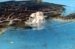 Turtle 2. Turtle with head above water royalty free stock image