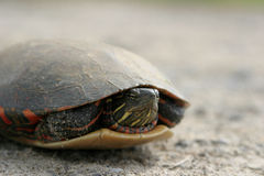 Turtle 2 Royalty Free Stock Images