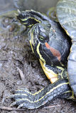 Turtle. Portrait Of A Turtle Taking A Mud Bath Royalty Free Stock Photos
