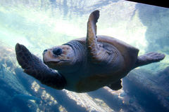 Turtle. A turtle swimming past the glass in an aquarium Stock Image