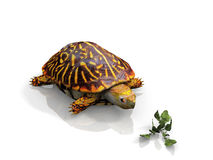 The turtle. Turtle and salad on white background Stock Photography