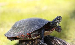 Turtle. On rock in nature Royalty Free Stock Image