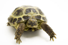 Turtle. Close up of turtle on white background Stock Image