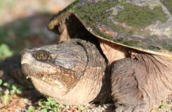 Turtle. Face of big turtle in nature Stock Images