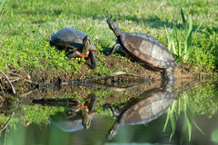 Turtle. A couple turtles catch some early morning sun at the Aquatic Gardens in Washington, DC Stock Photos
