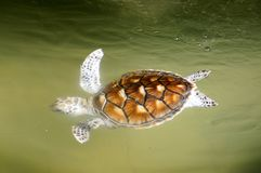 Turtle. Baby Green Sea Turtle swim freely at Turtle Conservation Center Royalty Free Stock Image