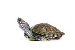 Turtle. Cute turtle over white background stock photography