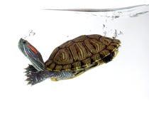 Free Turtle Stock Photo - 24157080