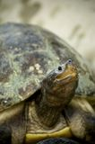 Turtle. Green Old Turtle Stock Image