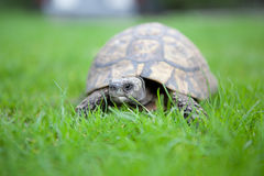 Turtle. Walks on the grass on a sunny day Royalty Free Stock Photography