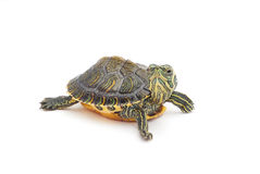 Turtle. Funny turtle on white background Royalty Free Stock Images