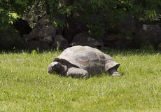 Turtle. To walk in the garden Stock Image