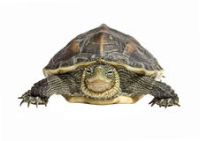 Turtle. Looking towards camera isolated on white stock images