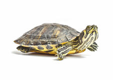 Turtle. Looking up on a white background stock photos